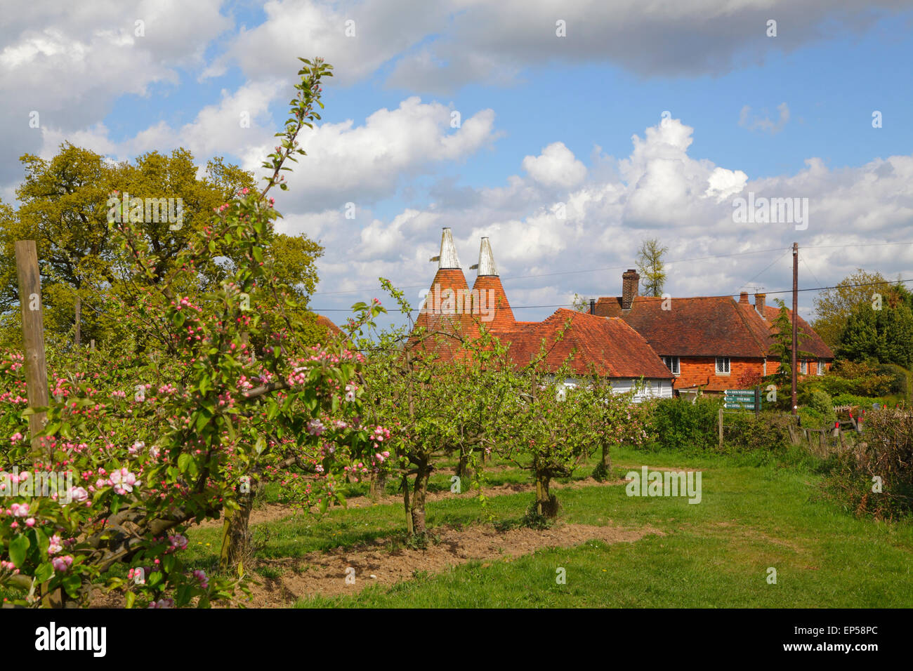 Oast Houses and Apple Blossom Kent, England, Britain, UK - Stock Image
