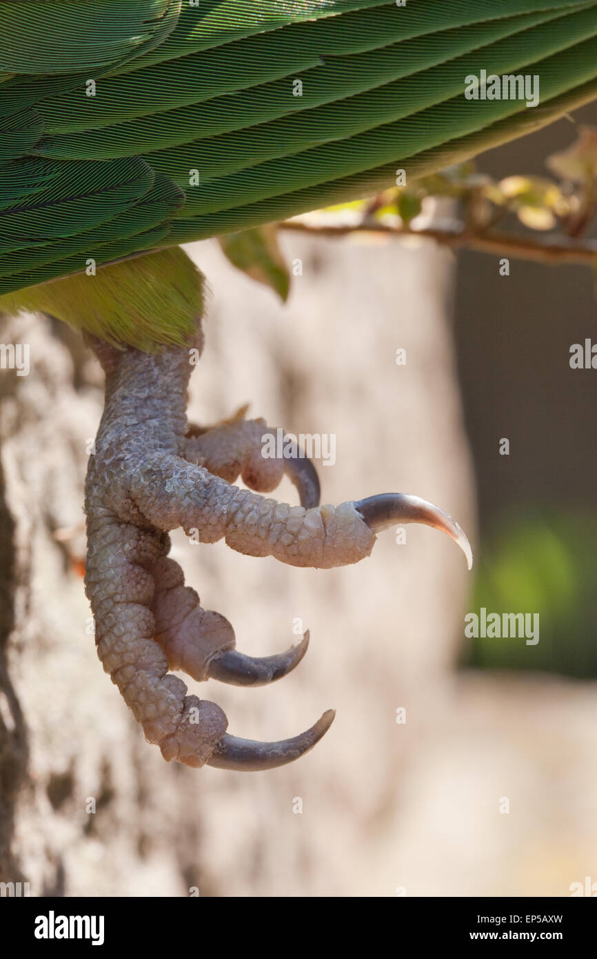 Rose-ringed or Ring-necked Parakeet (Psittacula krameri).  Close-up left foot, showing two central toes facing forwards - Stock Image