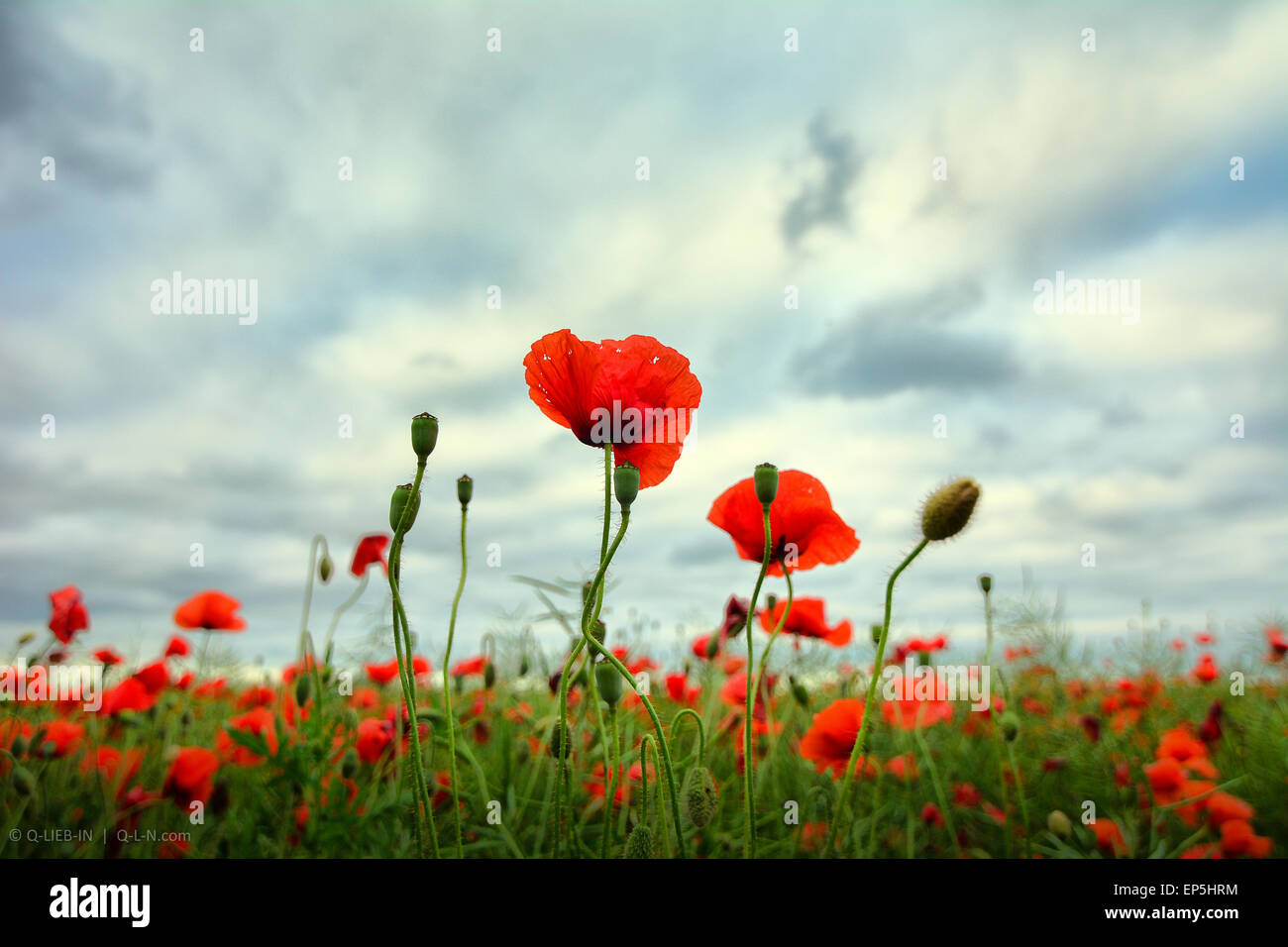 Red poppies close up on stormy skyes background field - Stock Image
