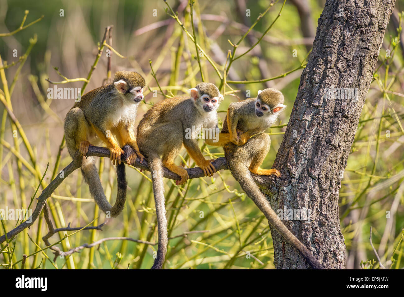 Three common squirrel monkeys (Saimiri sciureus) playing on a tree branch - Stock Image
