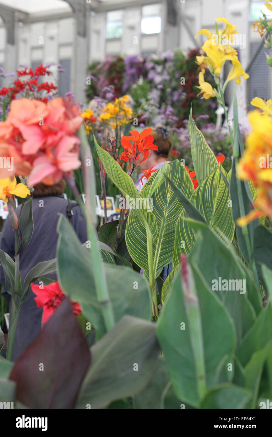 Canna flowers and foliage displayed on plant stand in floral marquee at RHS Hampton Court Flower Show, July 2014 - Stock Image