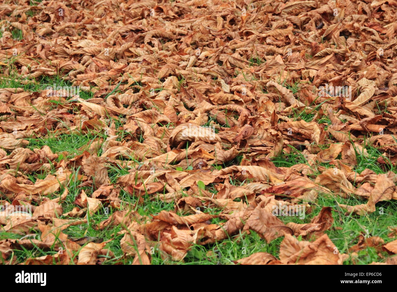 Perspective of brown dead autumn leaves on green grass - Stock Image