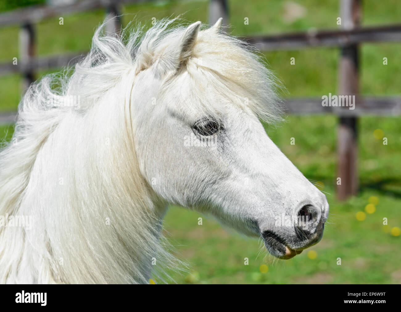 Head of a domestic white horse in a field. - Stock Image