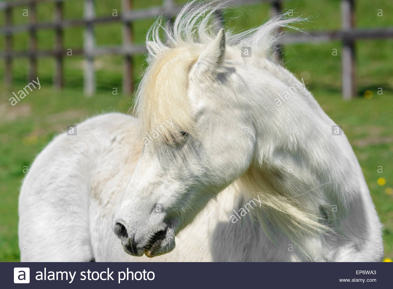 Domestic white pony in a field turning it's head to the side. - Stock Image