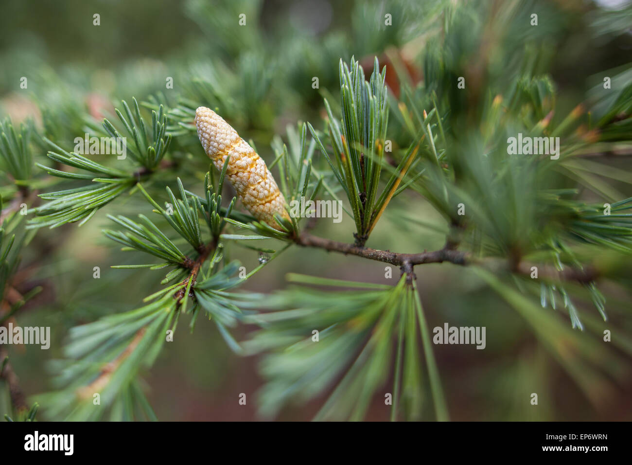 Young conifer pine shoot macro with blurred background - Stock Image