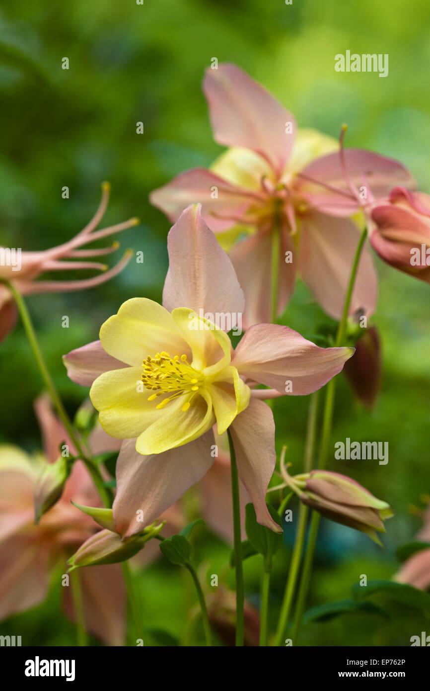 Aquilegia vulgaris 'Oregon' - Stock Image