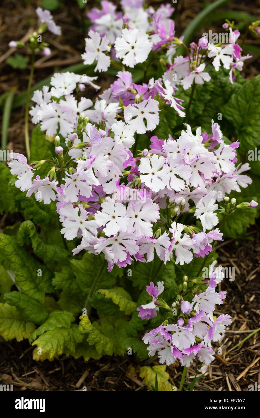 Late Spring Flowers Of The Asiatic Primrose Primula Sieboldii Stock