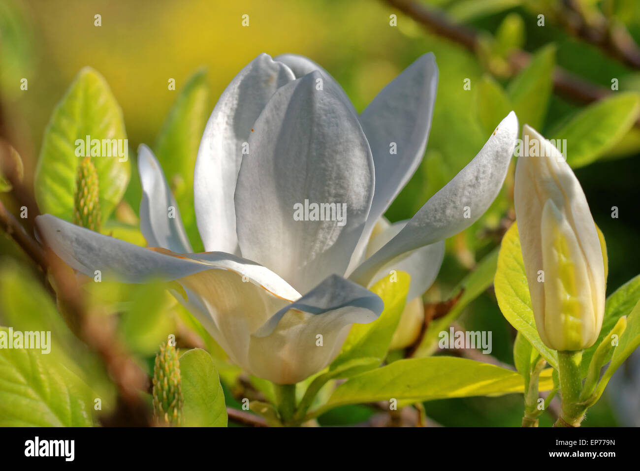 Magnolia is a large genus of about 210 flowering plant species in the subfamily Magnolioideae of the family Magnoliaceae Stock Photo
