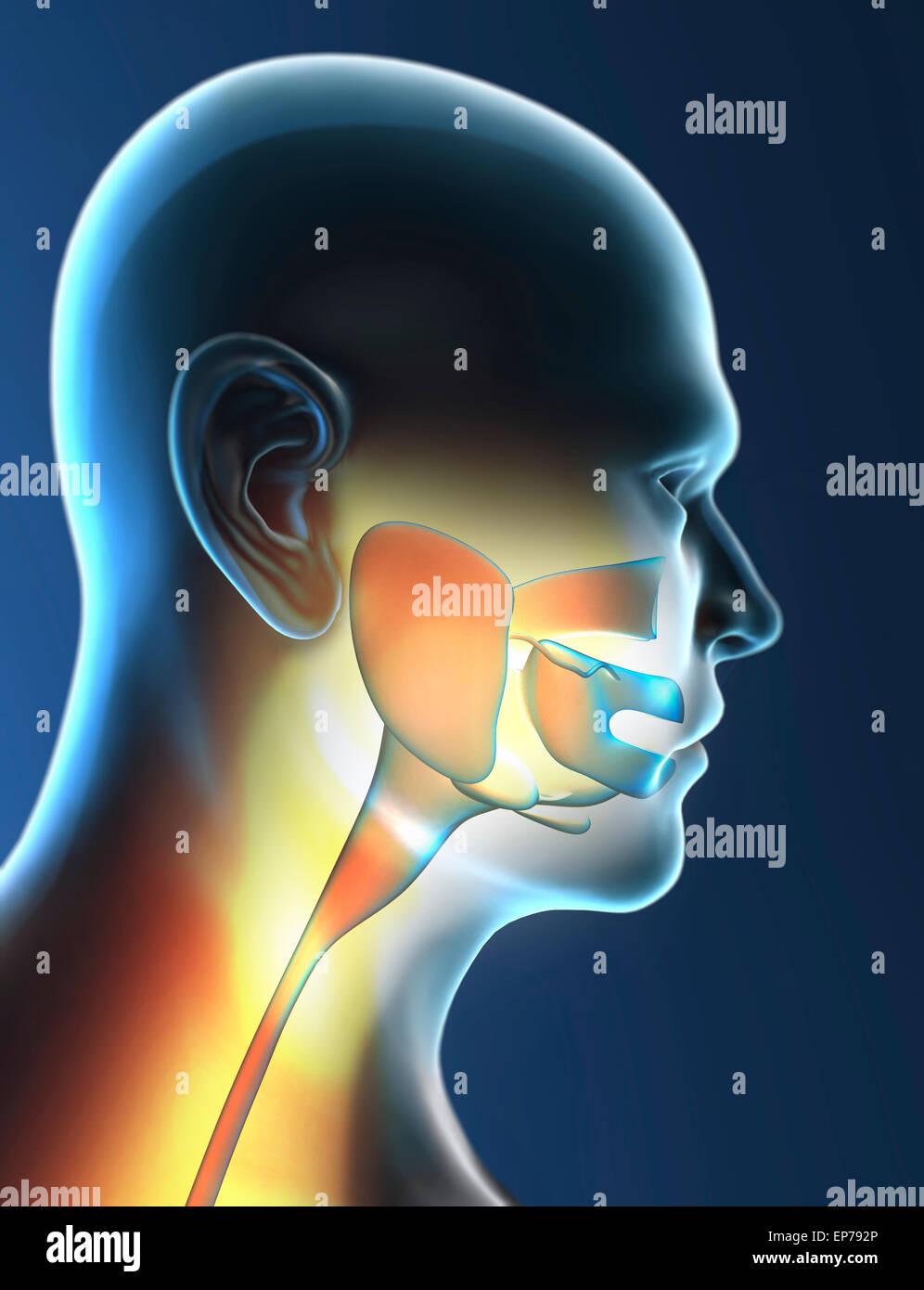 Human Throat Stock Photos Human Throat Stock Images Alamy