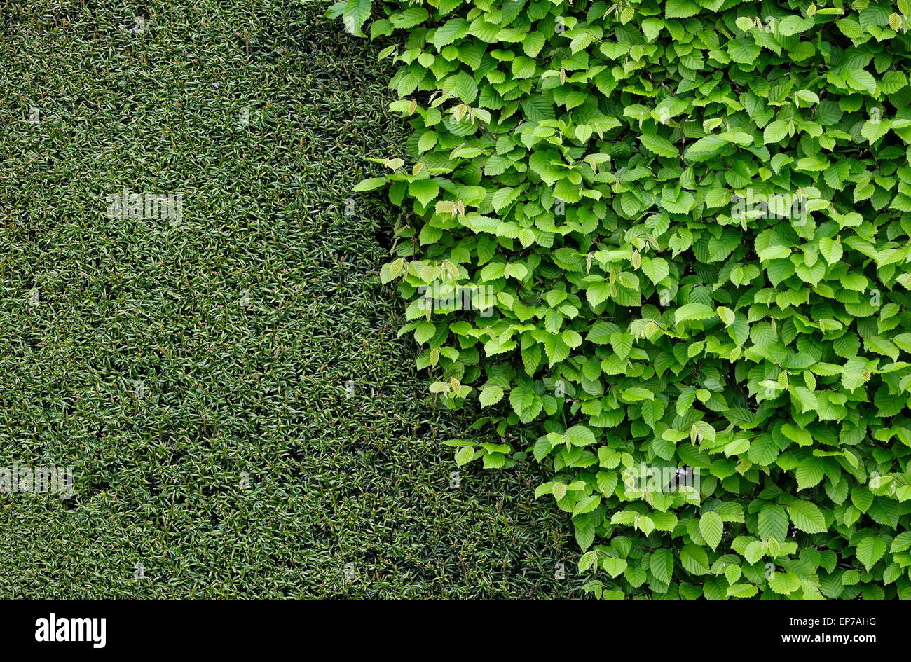 clipped yew hedge and green leaves in garden - Stock Image