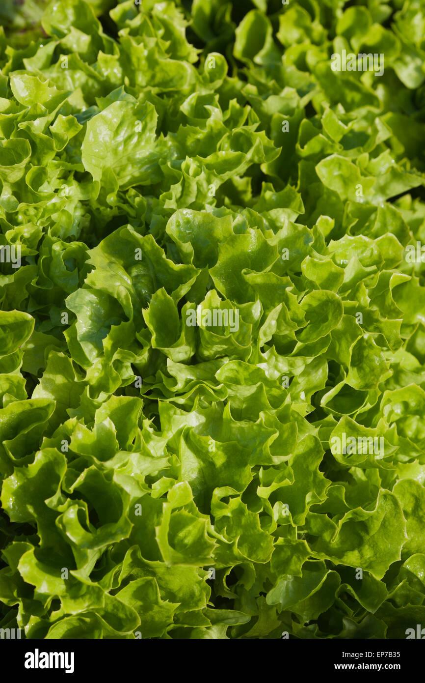 Lactuca sativa 'All Year Round' - Stock Image