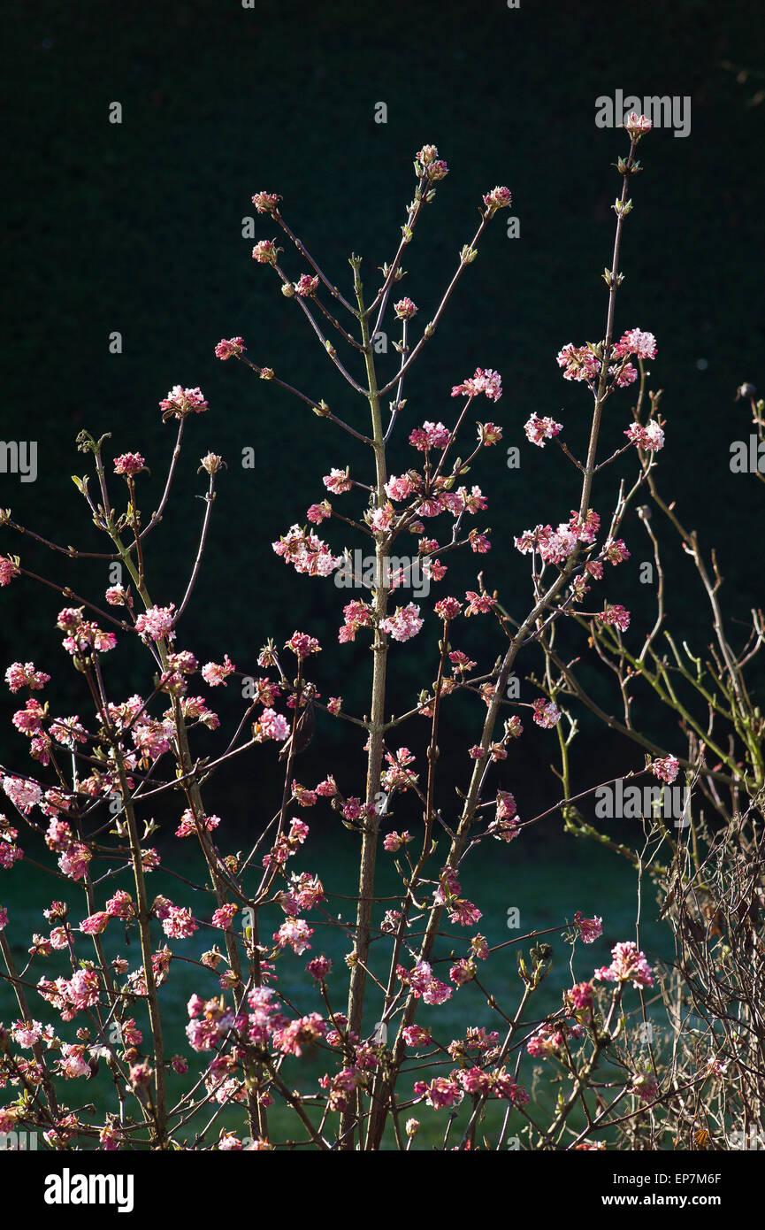 Viburnum Eve Price in flower - Stock Image