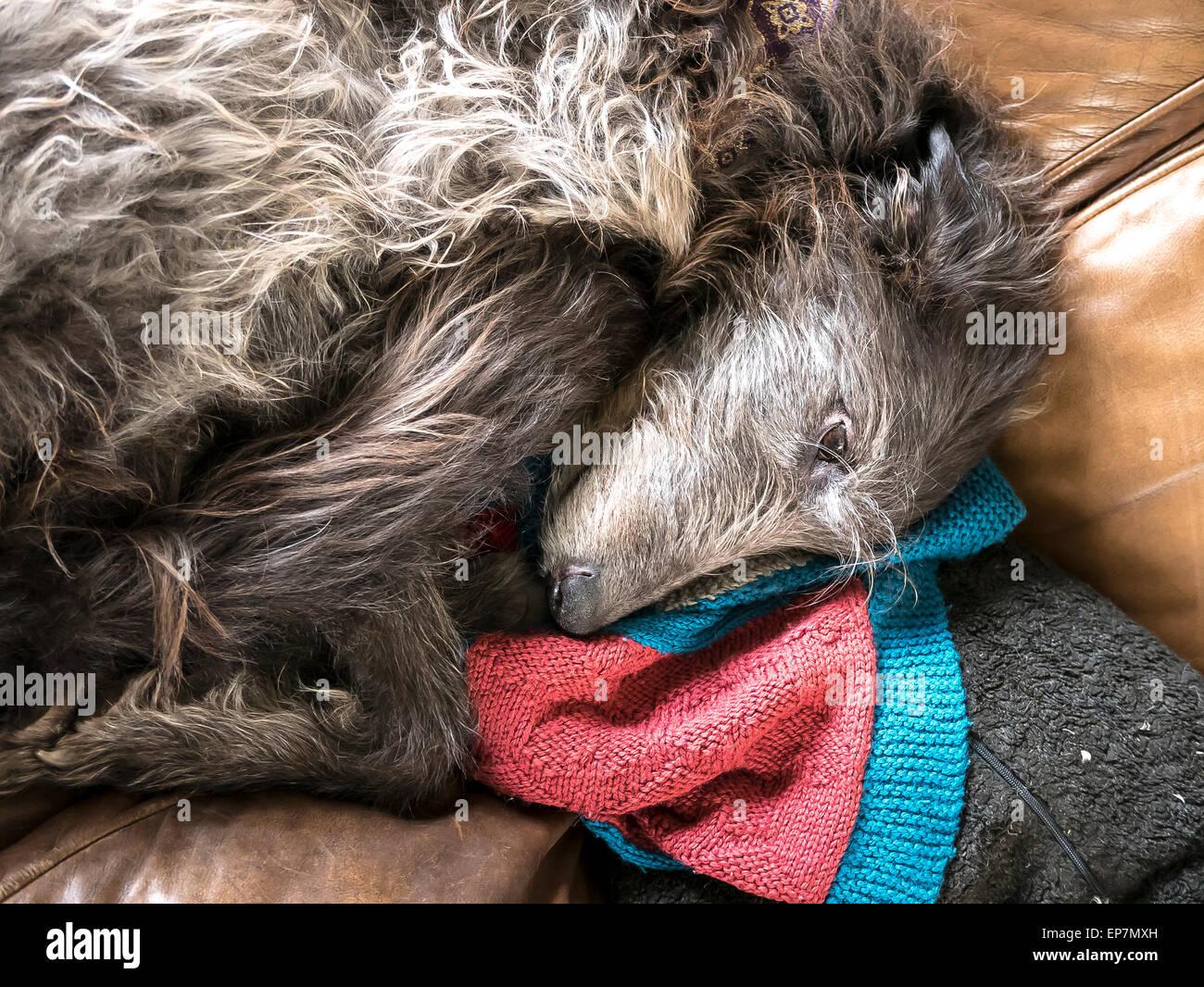 Old deerhound dog resting - Stock Image