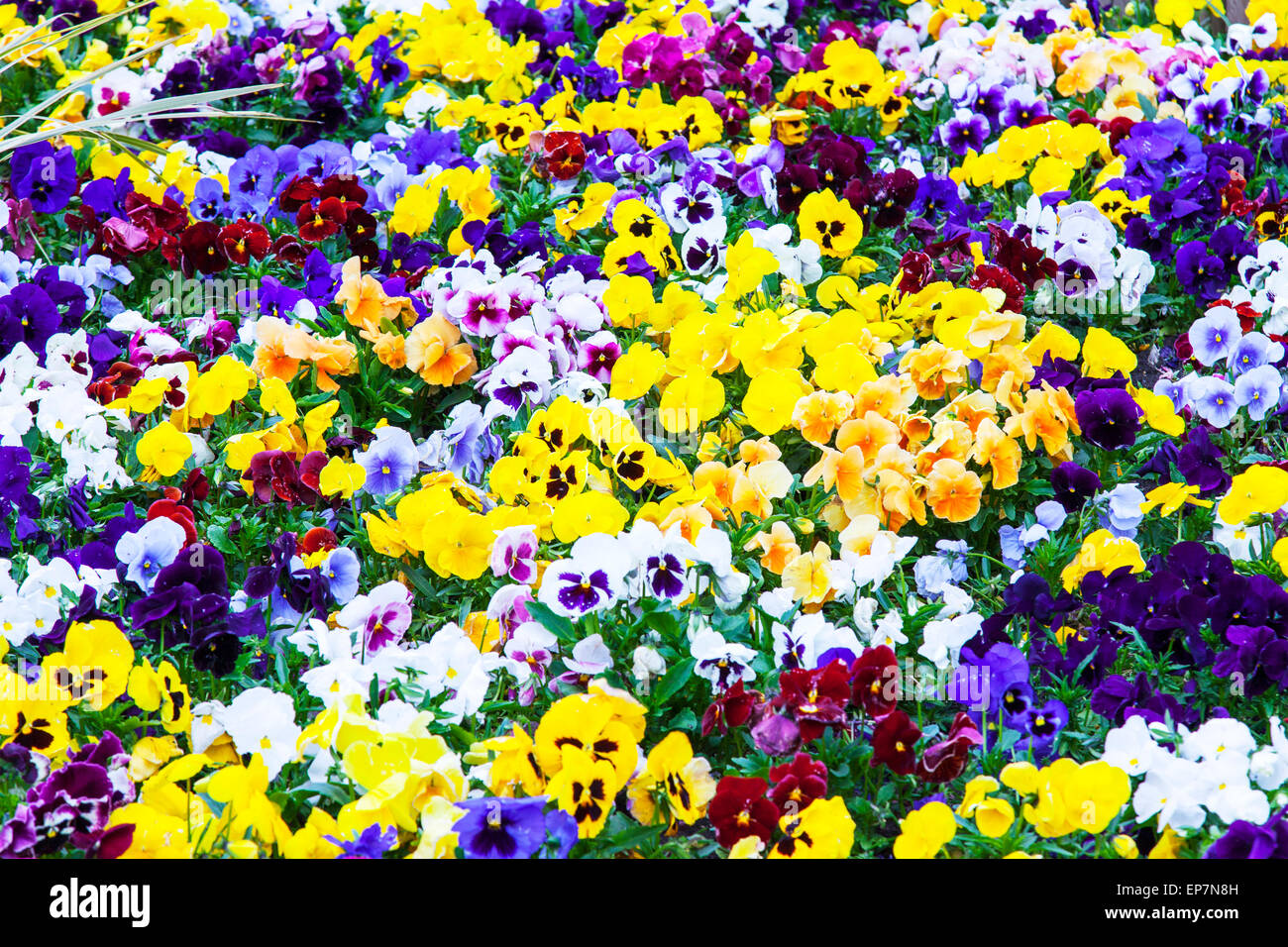 Pansies Pansy Flower Flowers Viola Tricolor Subsp Tricolor