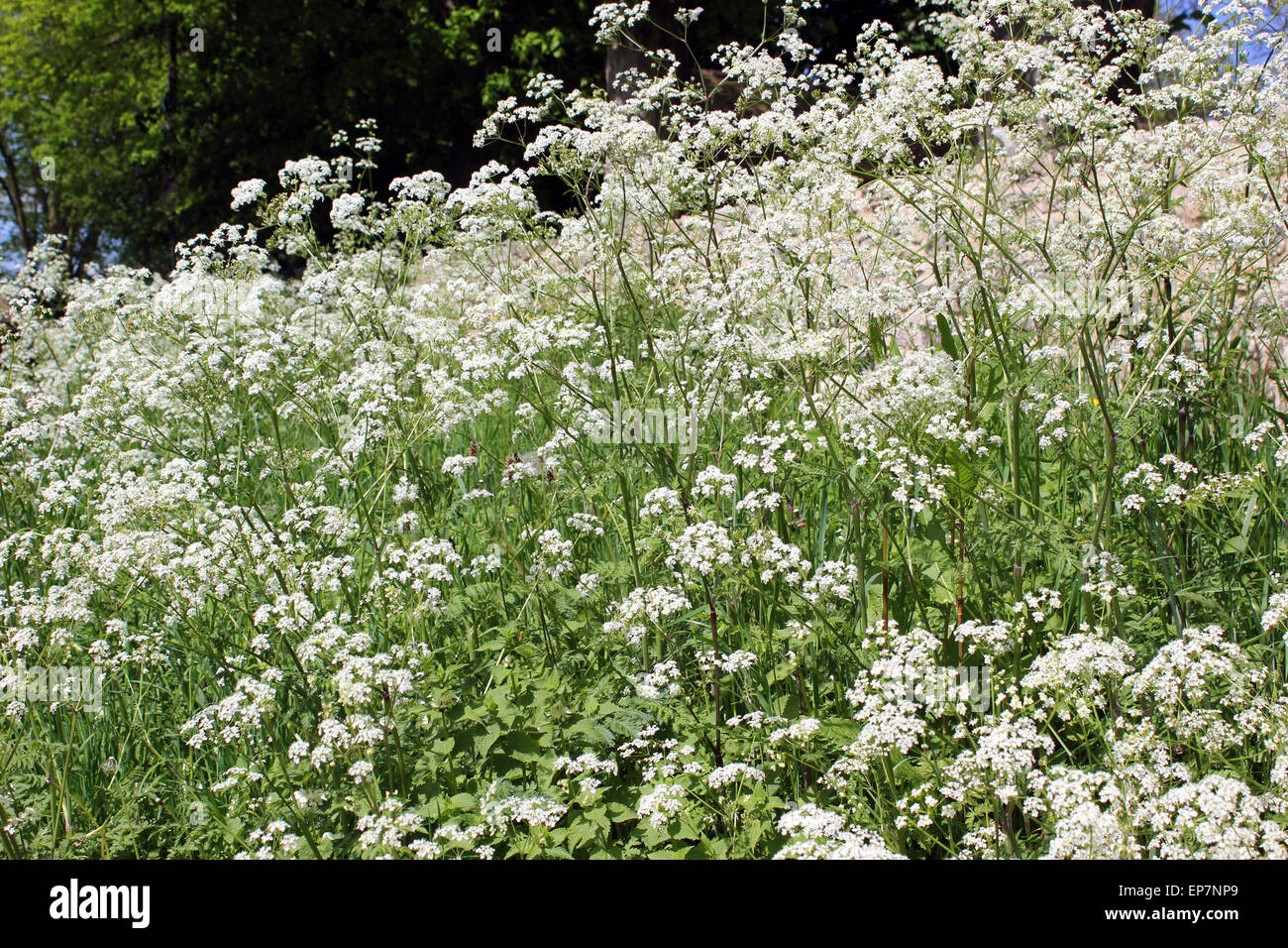 Anthriscus sylvestris - Cow Parsley Stock Photo