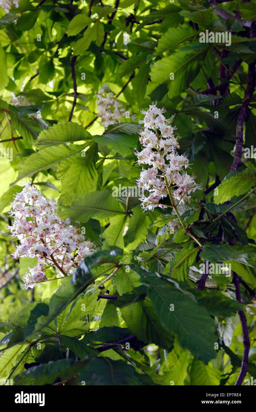 Horse Chestnut tree (Aesculus hippocastanum) in full spring flower - Stock Image