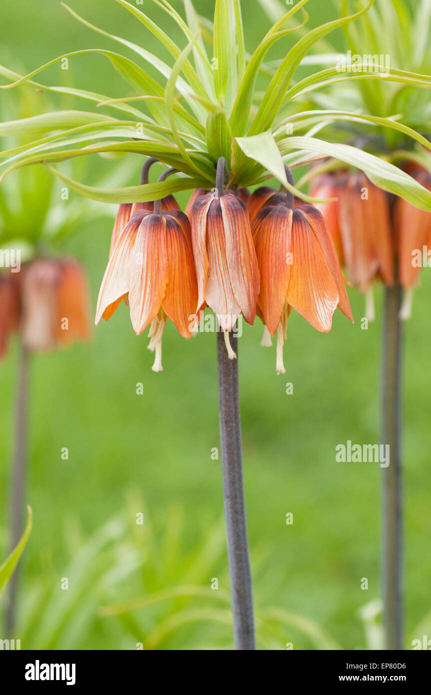 Fritillaria Imperialis orange flower. - Stock Image