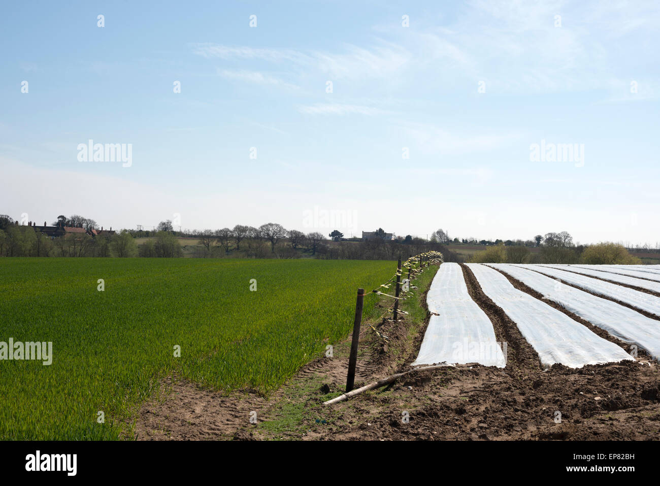 Carrots grown under plastic protection coverings beside a wheat field, Boyton, Suffolk, UK. Stock Photo