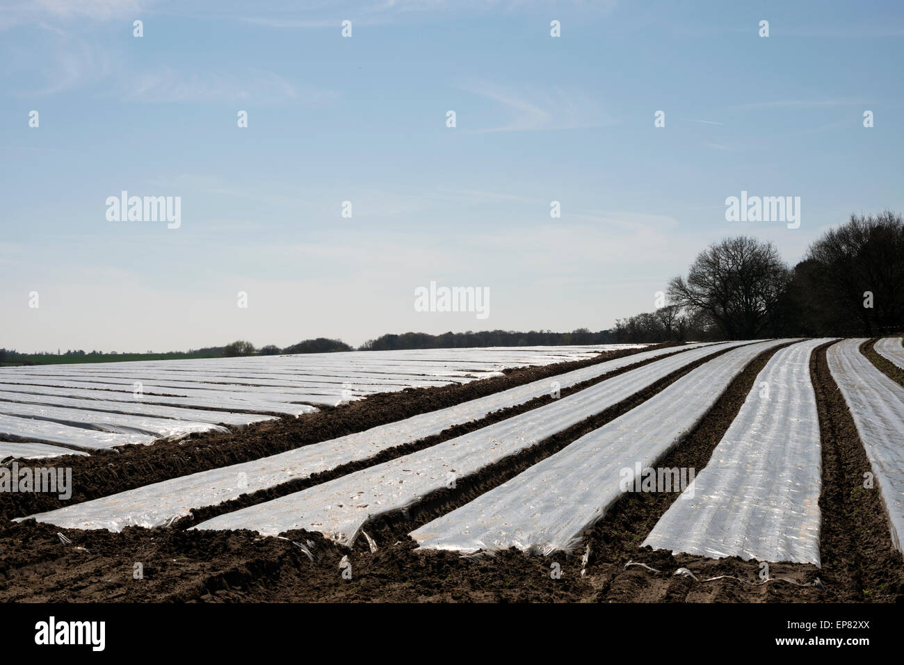 Carrots grown under plastic protection coverings Stock Photo