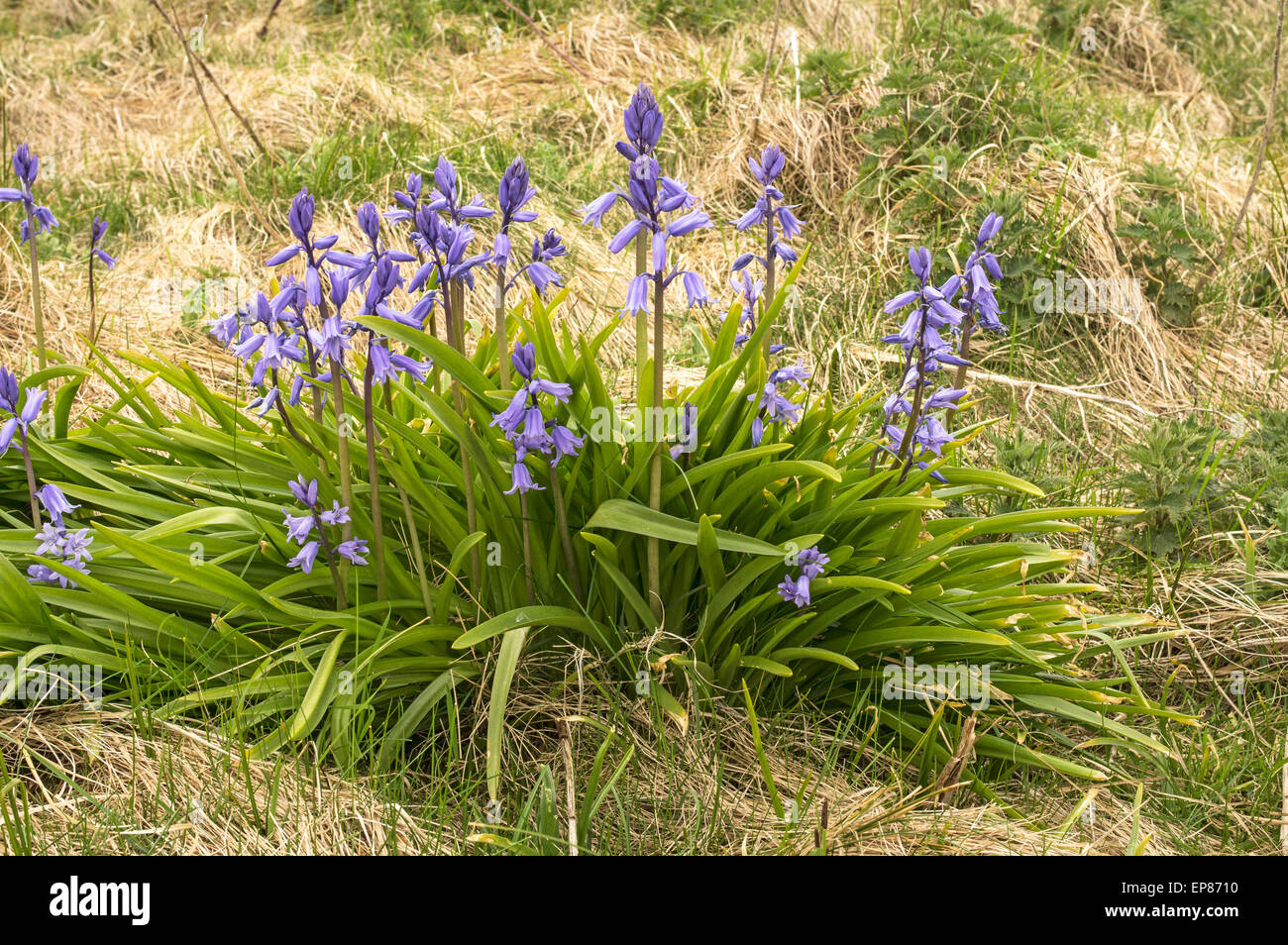 Spanish Bluebell. A garden plant that has become established in the wild - Stock Image