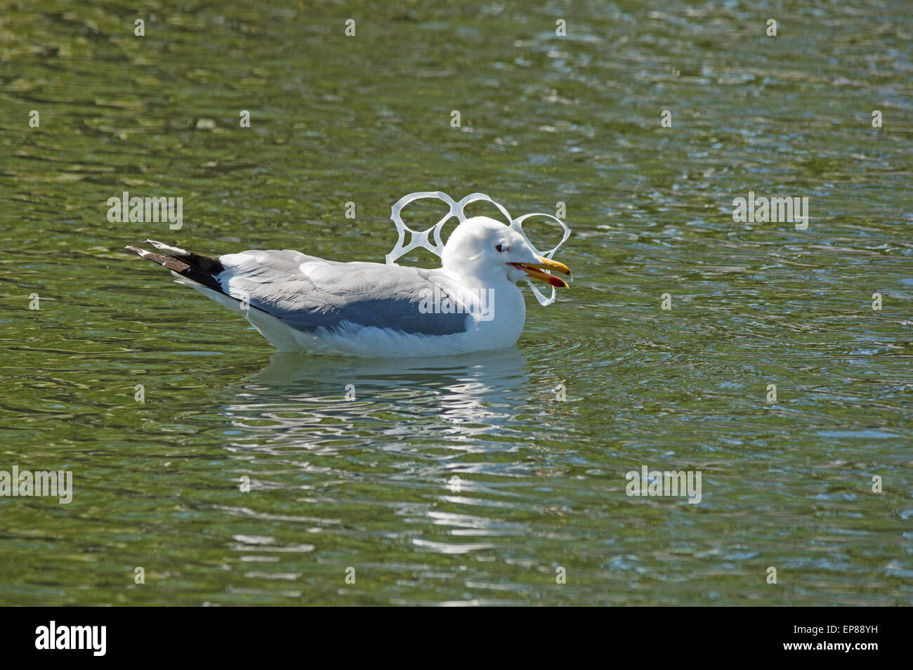 gull with its head caught in a plastic six-pack holder pollution - Stock Image