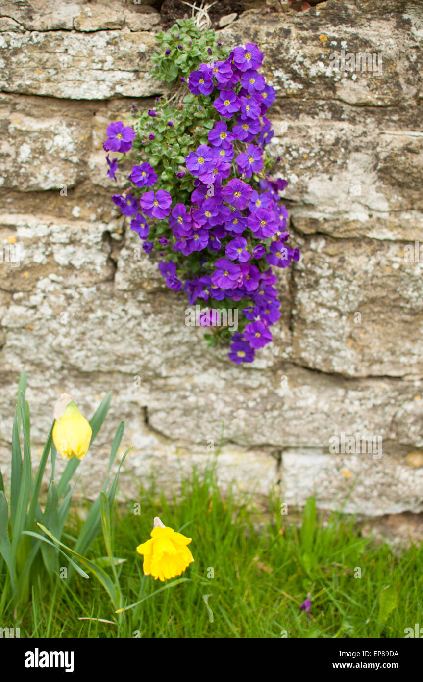 Viola 'Velour Purple and White' (Violaceae / Violaceae) growing out of stone wall - Stock Image