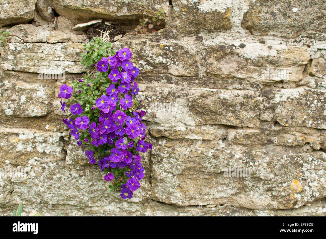 Viola 'Velour Purple and White' (Violaceae / Violaceae) growing from stone wall - Stock Image