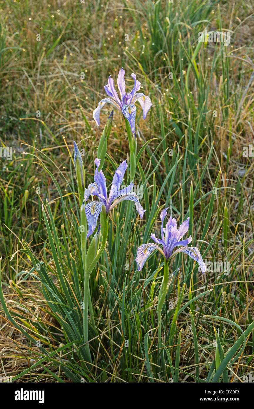 Wild iris flowers stock photos wild iris flowers stock images alamy wild iris flowers growing in a field with back light stock image izmirmasajfo