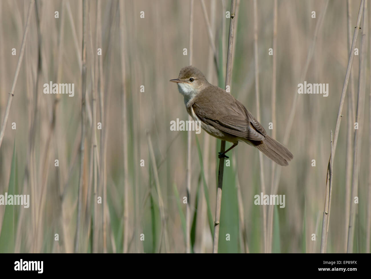 Reed Warbler Acrocephalus Scirpaceus Spring Uk Stock Photo Alamy