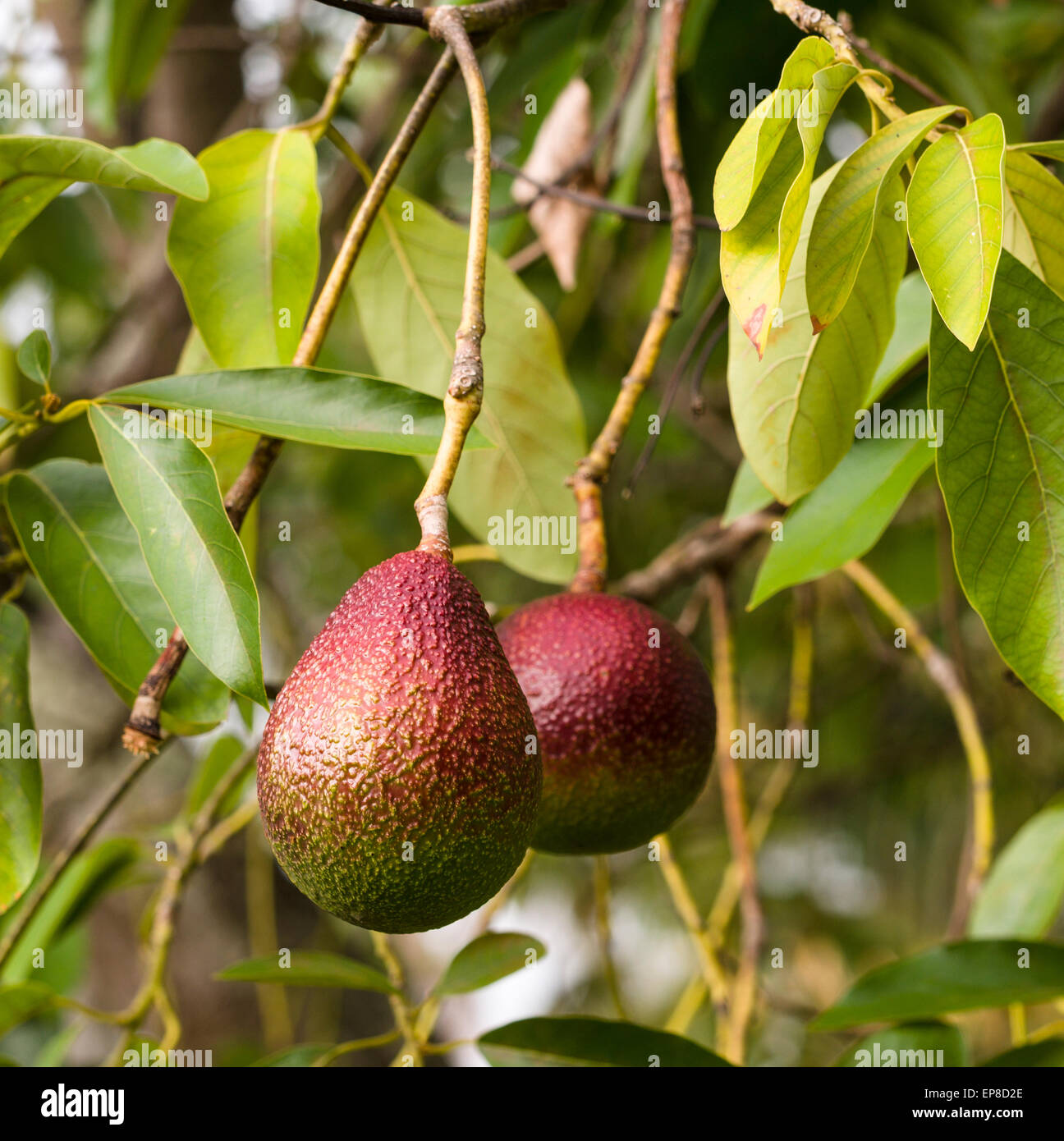 Ripe Red Avocado Fruit. Two lush ripe rare red avocados on the tree surrounded by leaves. - Stock Image