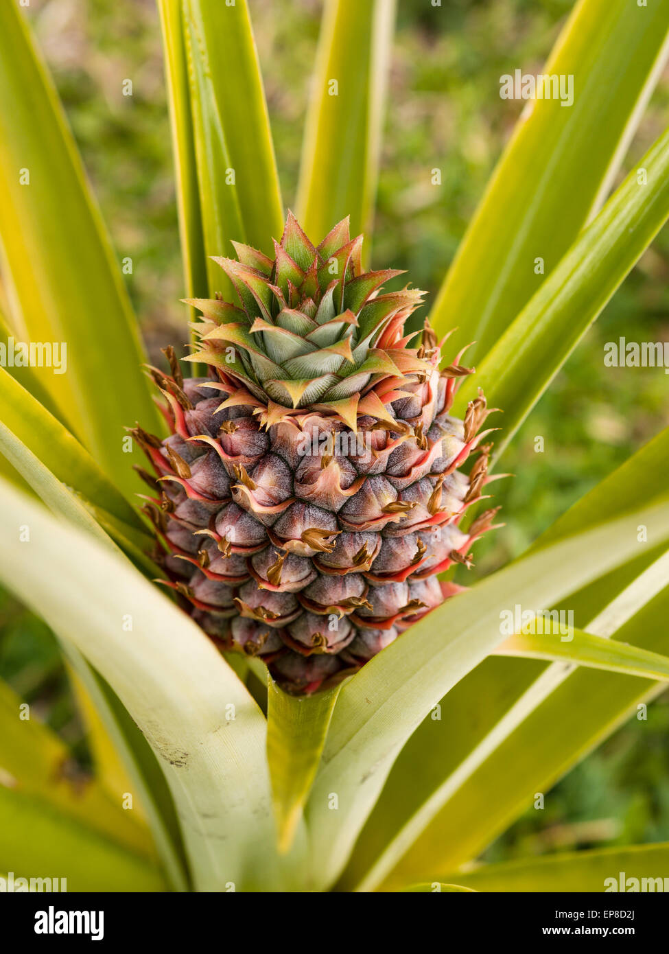 Baby Pineapple in the bush. A small pineapple fruit grows and matures in the fronds of the main plant. - Stock Image
