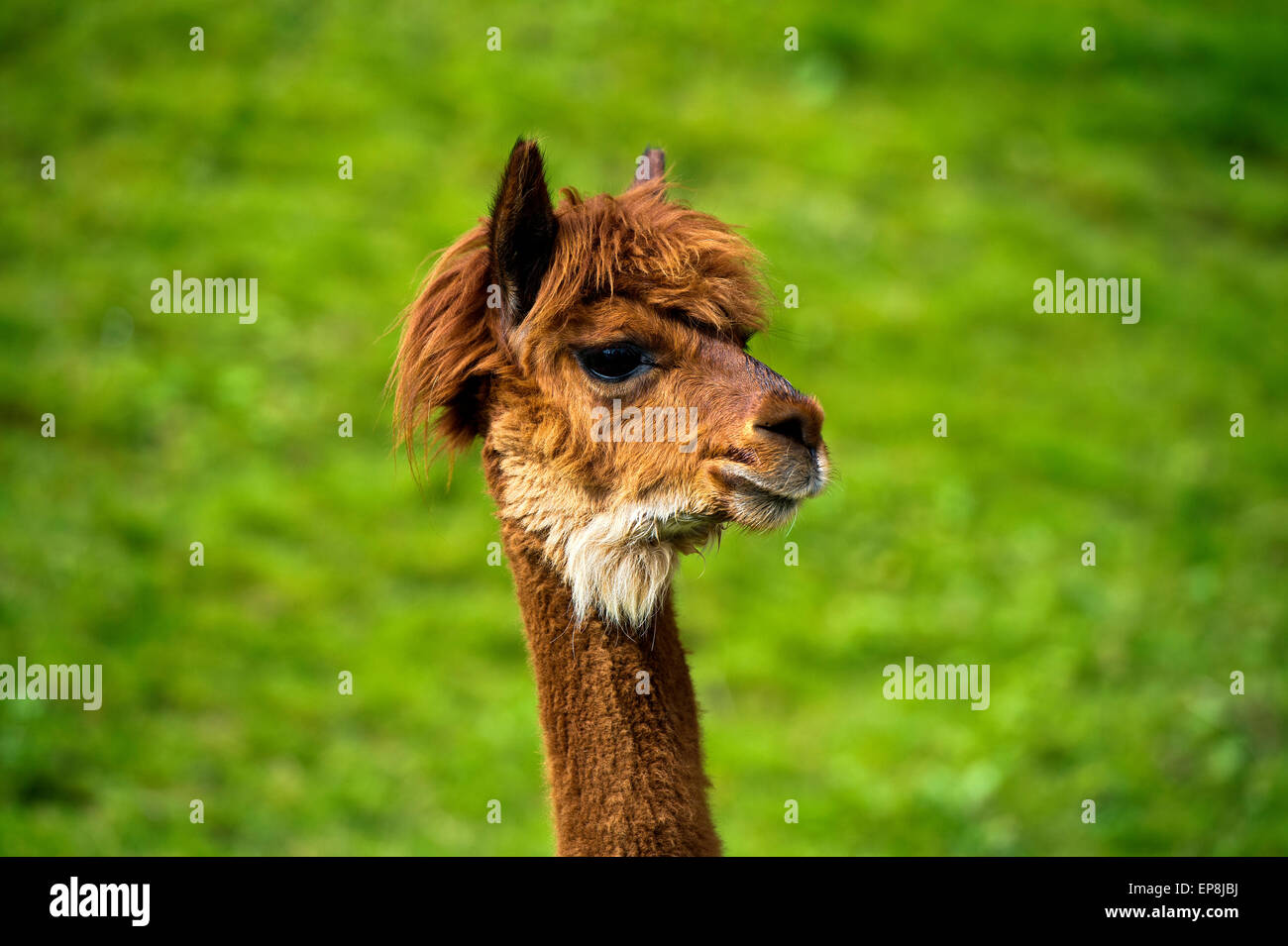 Llama (Llama glama), young animal, portrait, Switzerland - Stock Image