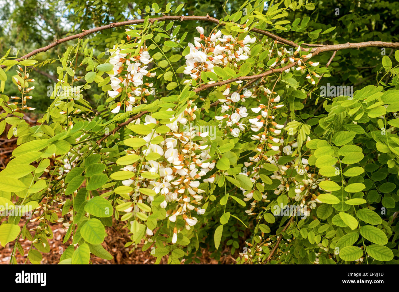 Acacia Tree Leaves And Flowers France Stock Photo 82554317 Alamy