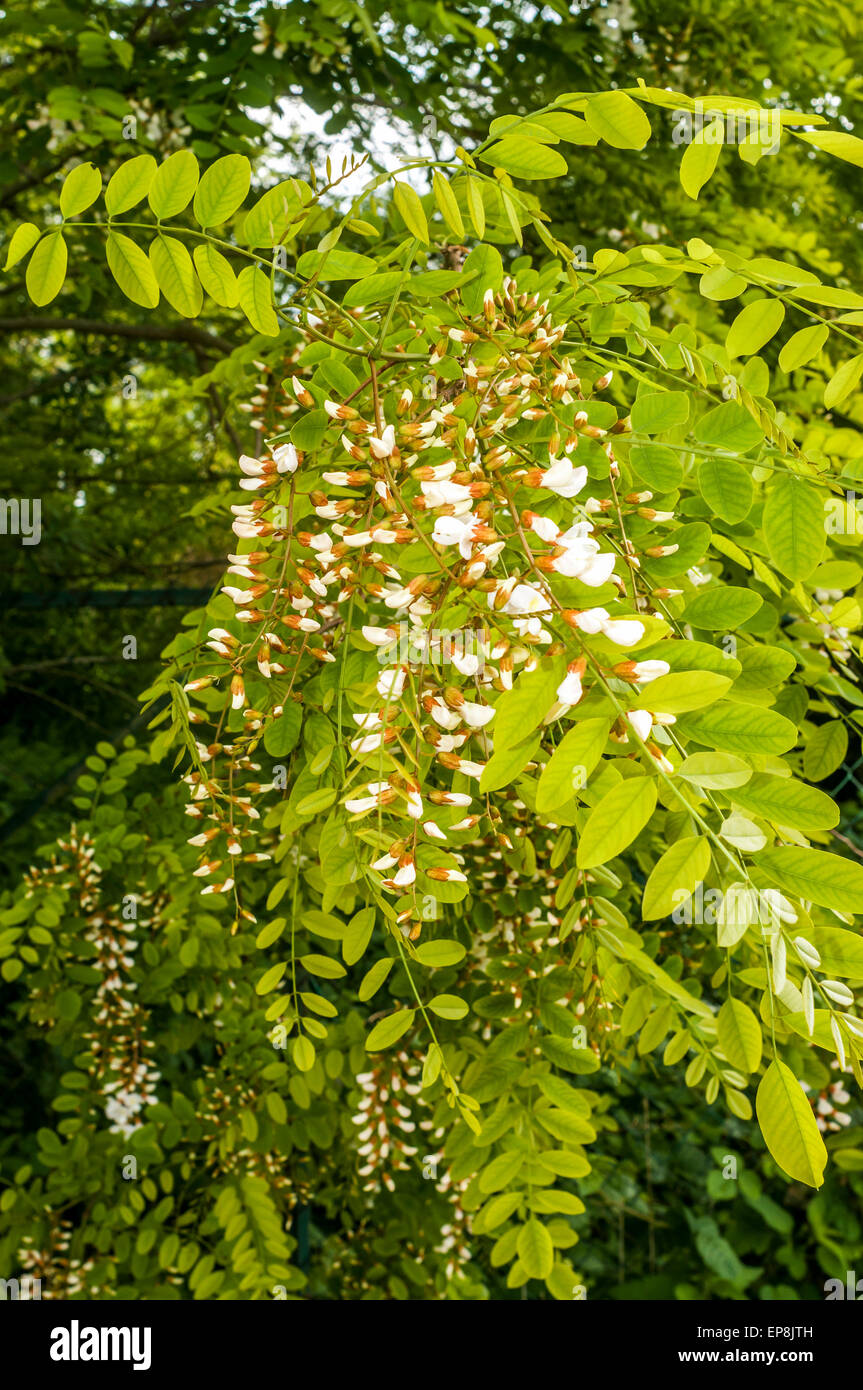 Acacia Tree Leaves And Flowers France Stock Photo 82554321 Alamy