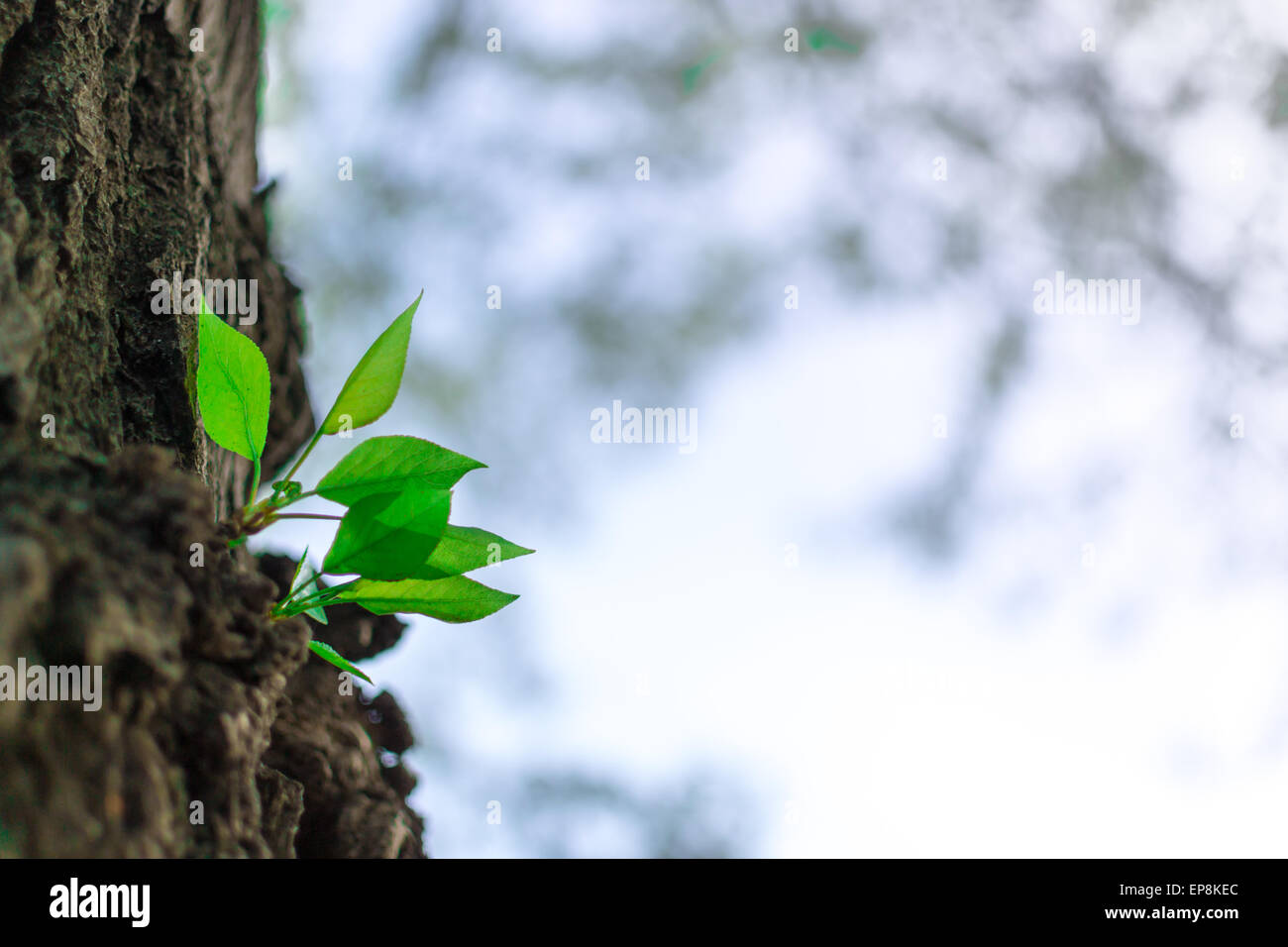 Green buds growing from a tree trunk in Spring Stock Photo