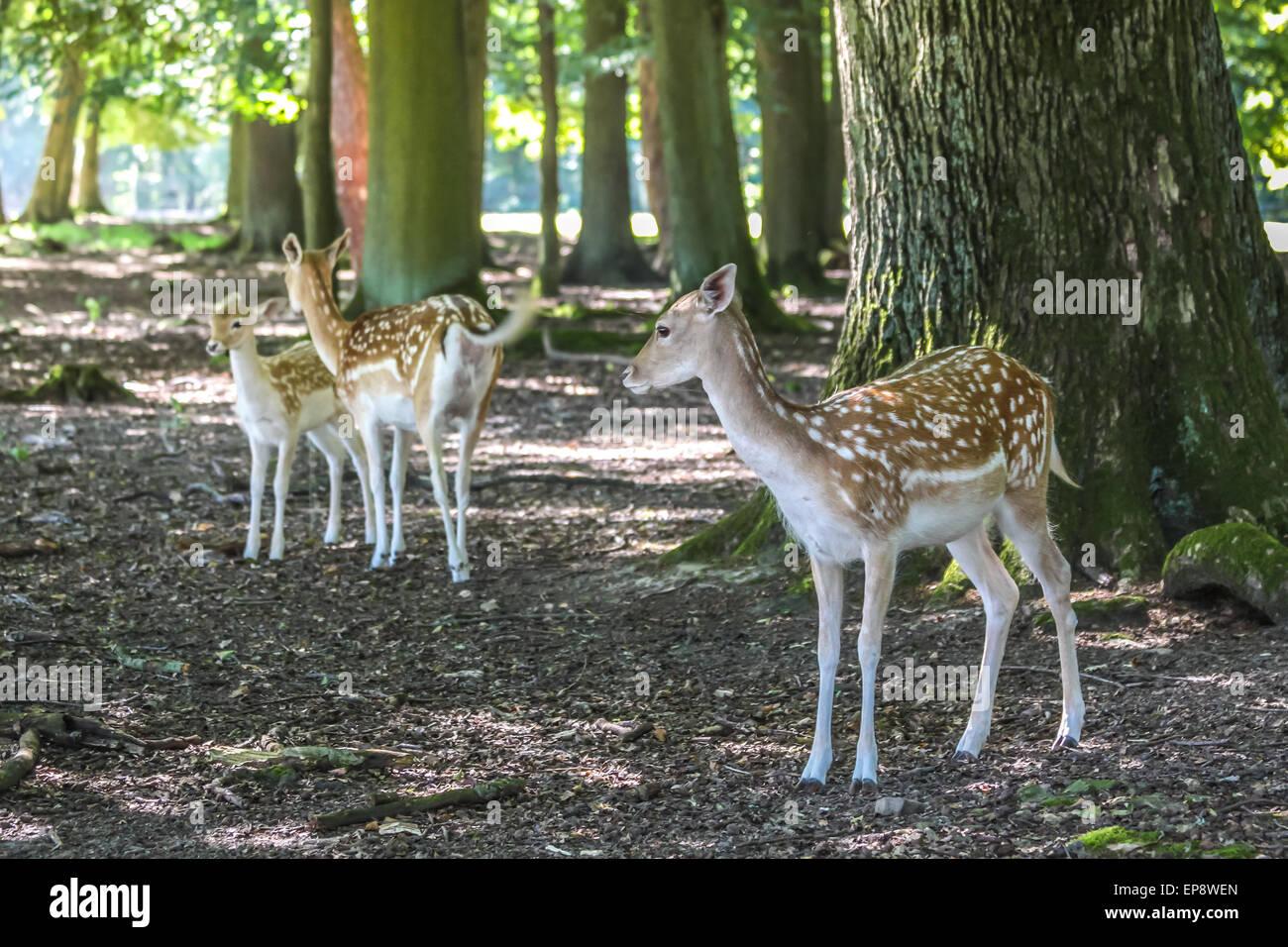 Young fallow deer (Dama dama) in the Deer Park at the hunting lodge Niederwald, Ruedesheim in the Rheingau, Hesse, - Stock Image