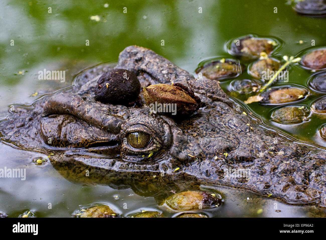 a close up of the face of a crocodile in the water in madagascar,nosy be Stock Photo