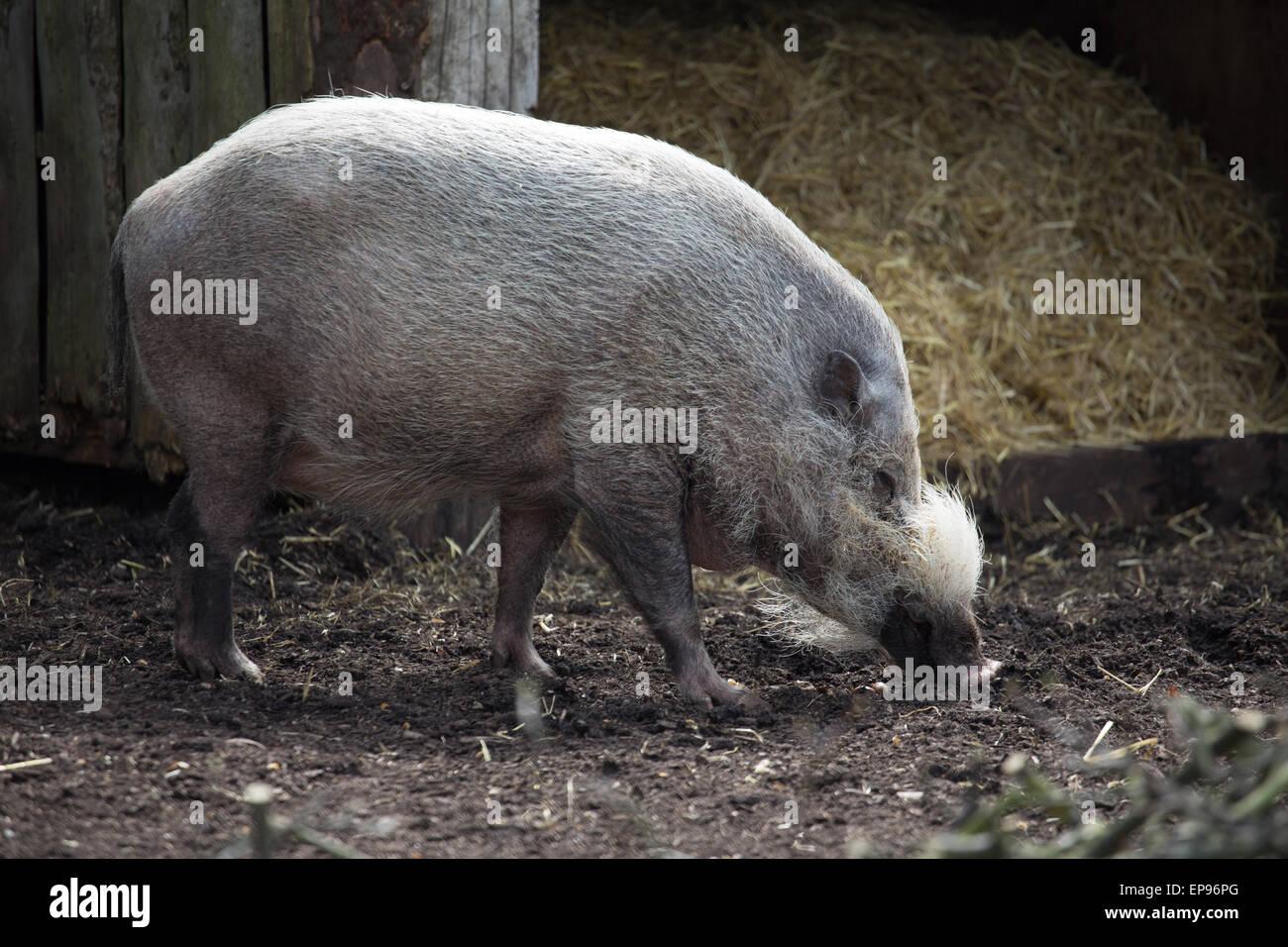 Wild Pig - Stock Image