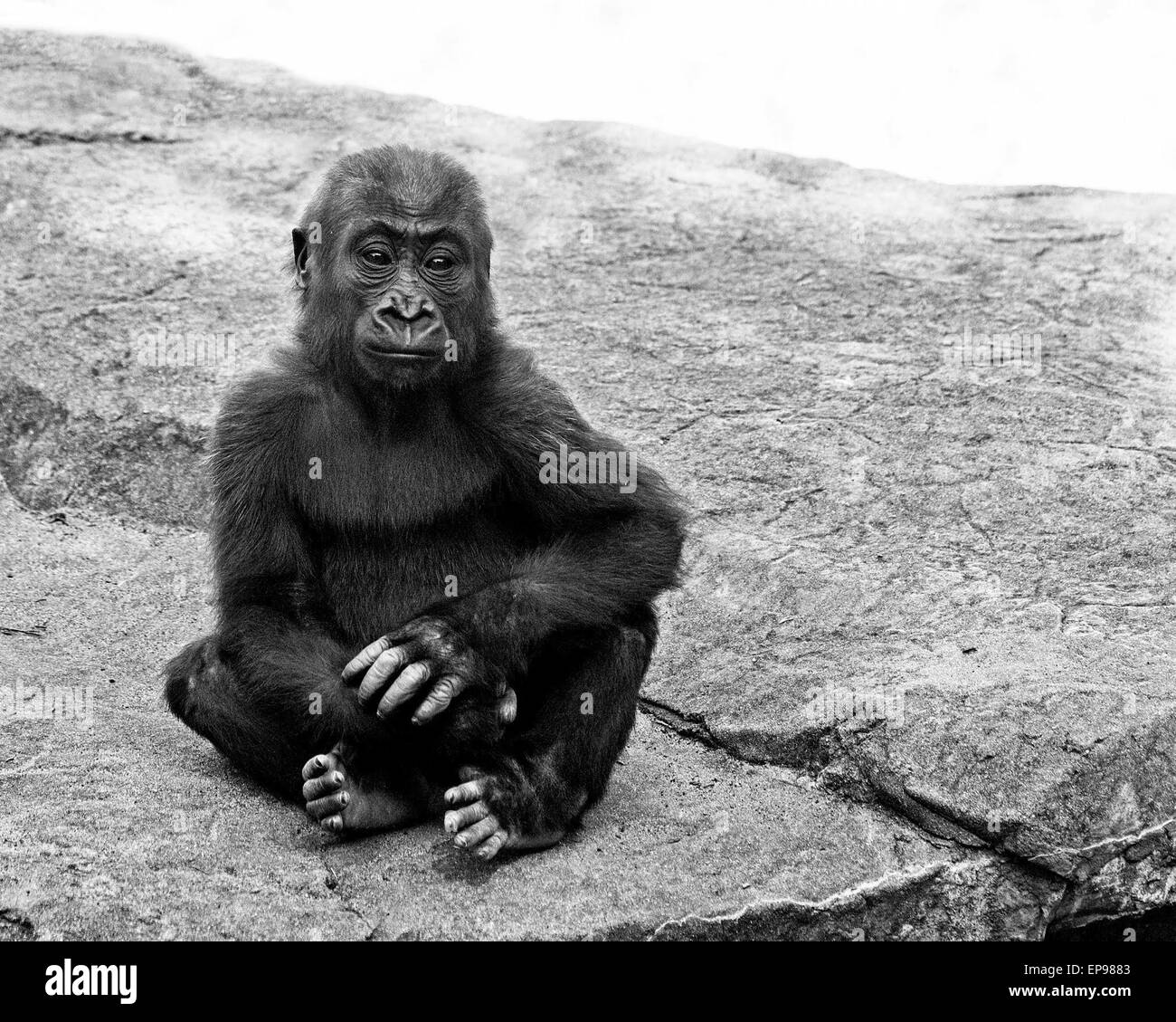 The female western lowland gorilla, Kabibe, died in a tragic accident on Friday November 7 (14). Zoo staff were - Stock Image