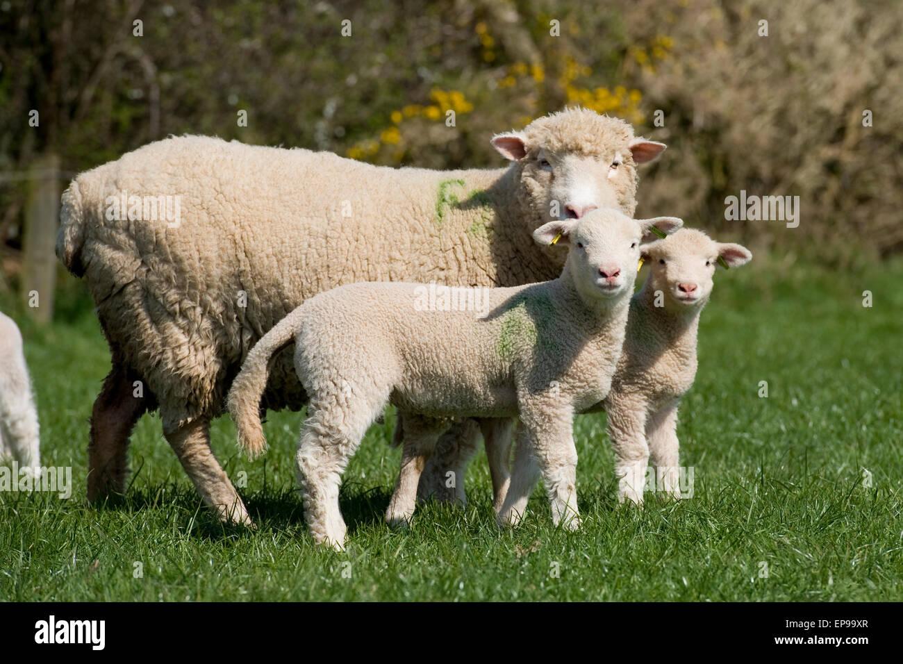 ewe and twin lambs - Stock Image