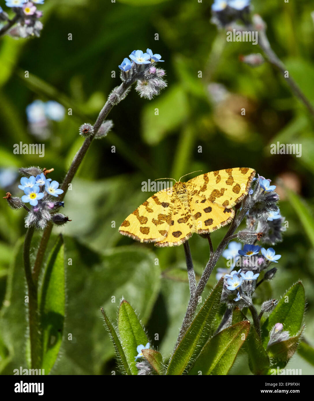 Speckled Yellow moth on Forget-Me-Not flowers. Fairmile Common, Esher, Surrey, England. Stock Photo