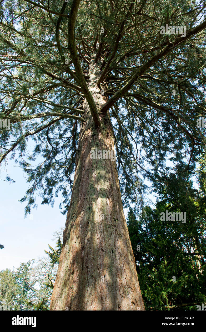 Sequoiadendron giganteum. Looking up a Giant Redwood tree trunk. Scotland Stock Photo