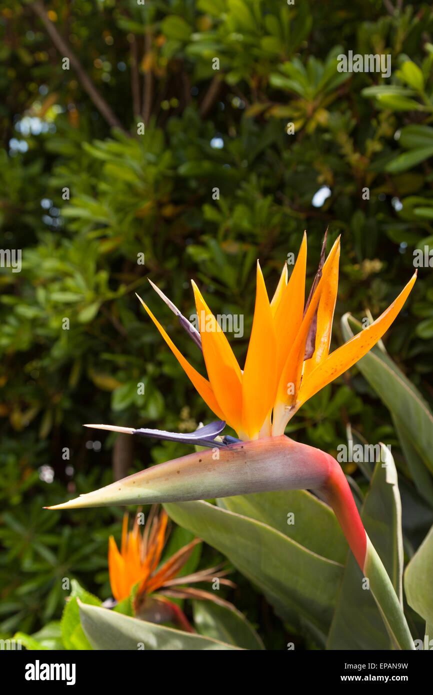 Strelitzia flower ( Strelitzia Reginae ), also known as Bird of Paradise flower or Crane Flower, growing in Madeira - Stock Image