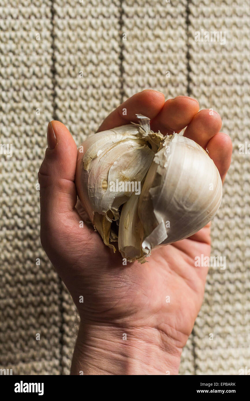 Extra large elephant garlic clasped in hands with moody lighting for farmers background photo - Stock Image