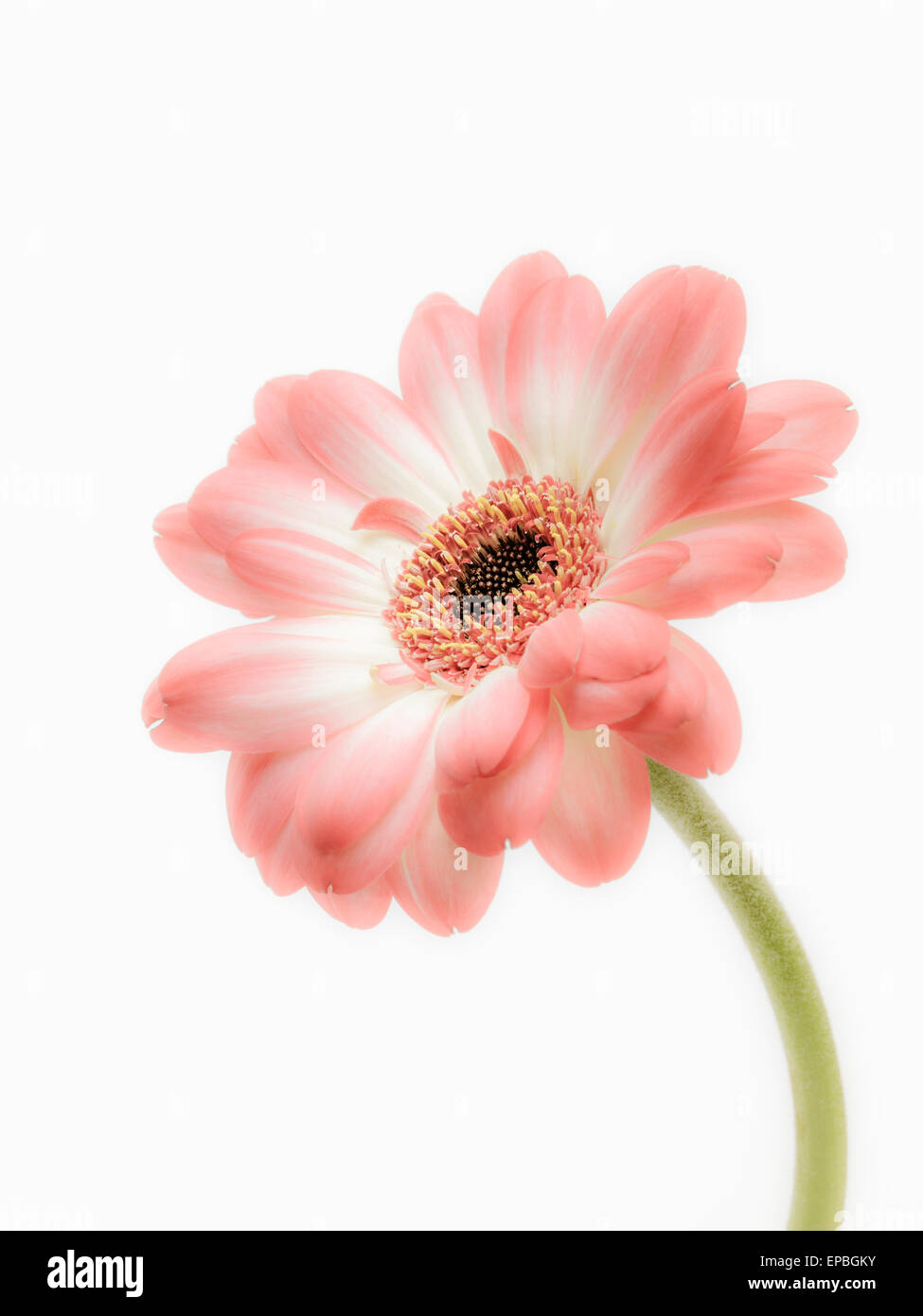 Single Daisy - Stock Image