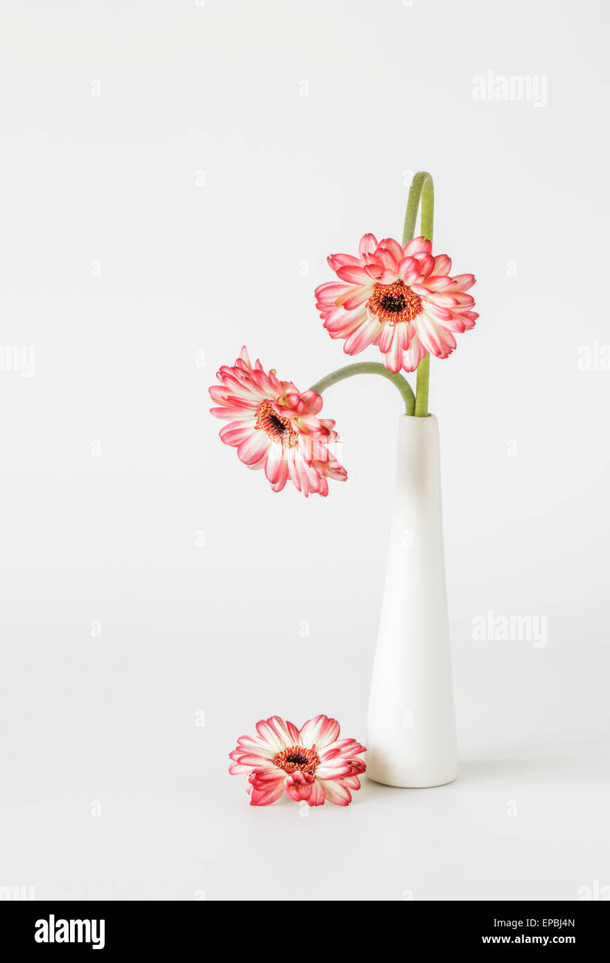 Two red white Gerberas with bowing stems in Vase - Stock Image