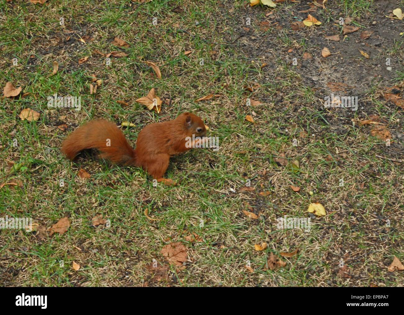 Squirrel At łazienki Królewskie Park In Warsaw Warszawa