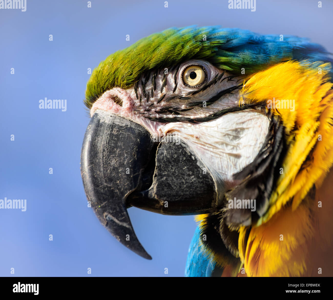 Macaw Parrot close up portrait, blue and yellow, Hawaii Stock Photo