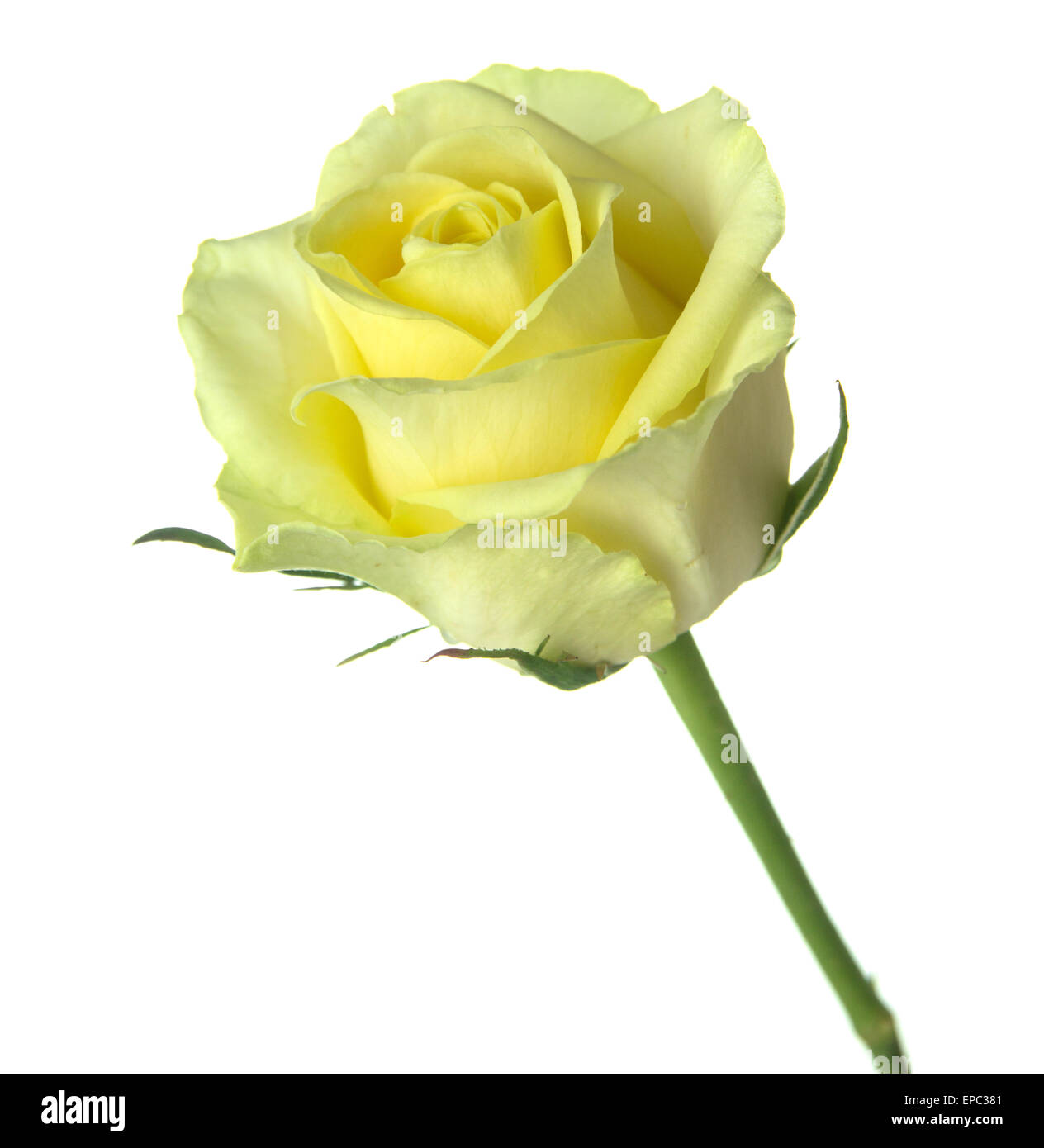half opened yellow-green rose isolated on white background Stock Photo