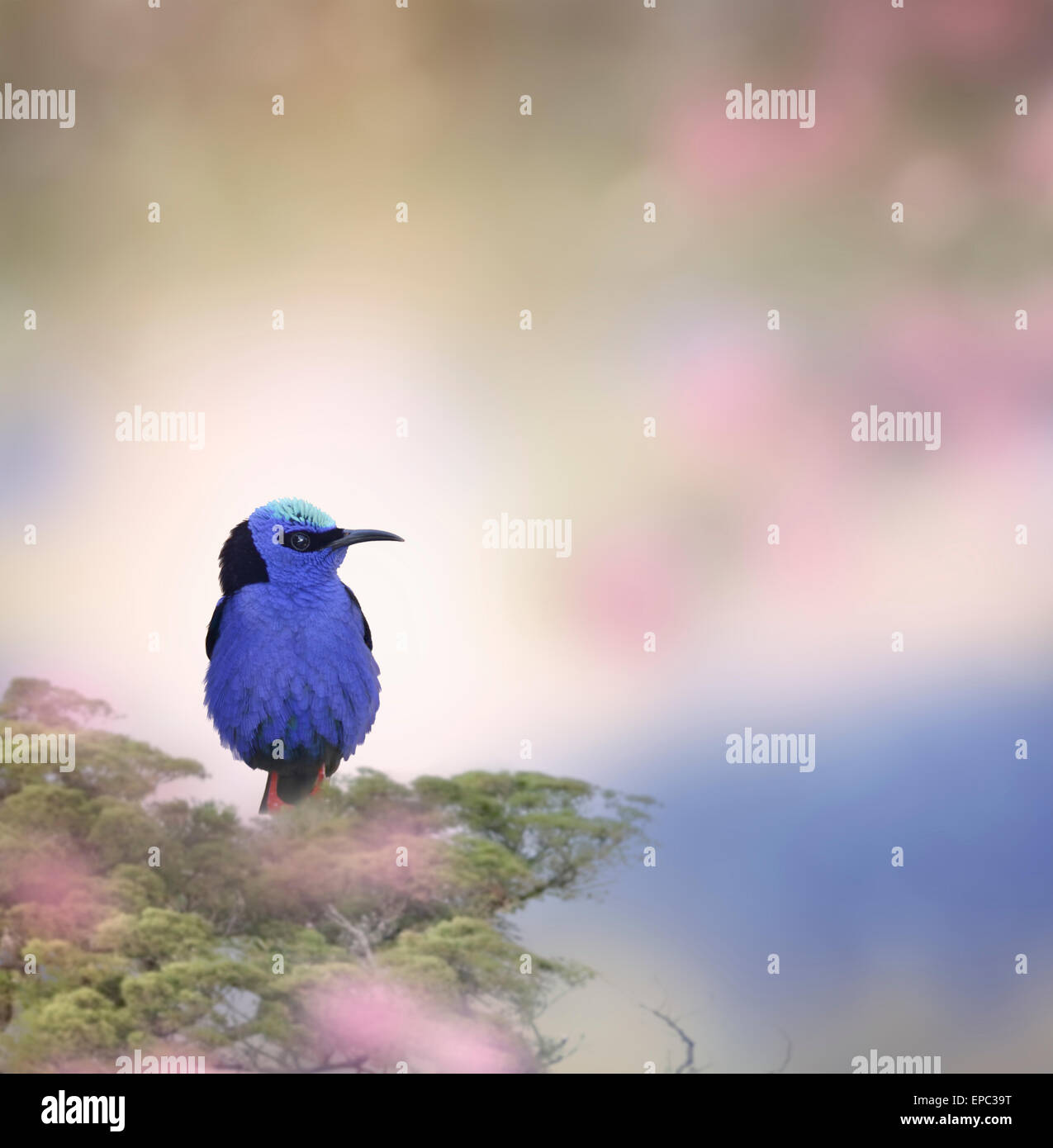Honeycreeper Bird Perched On A Branch - Stock Image
